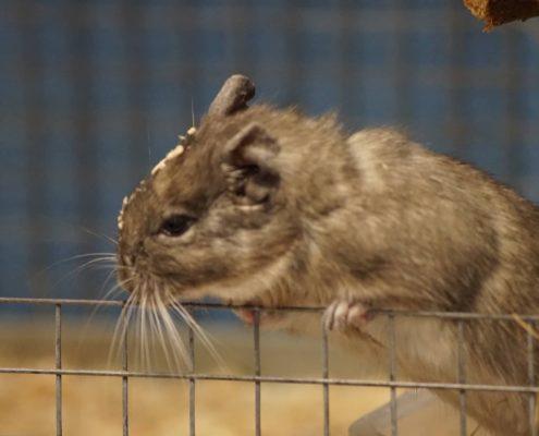Support An Animal - Island Community Haven CIC - Degu