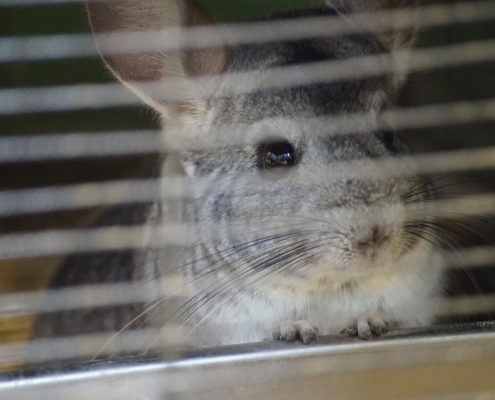 Support An Animal - Island Community Haven CIC - Rory the Chinchilla