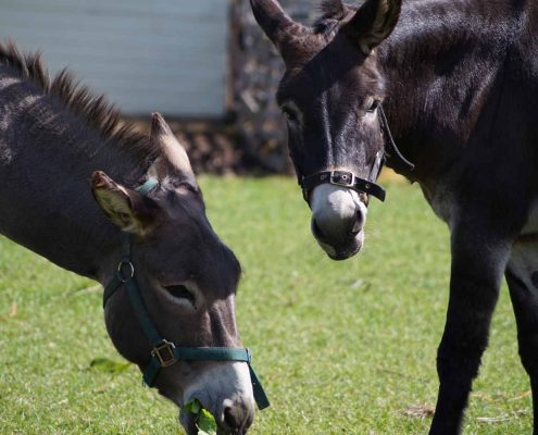 Support An Animal - Island Community Haven CIC - Charlie & Blue the Donkeys
