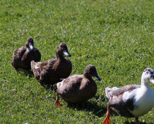 Support An Animal - Island Community Haven CIC - Ducks in a row