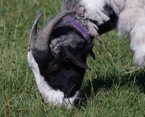 Support An Animal - Island Community Haven CIC - Andrew the goat