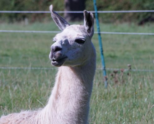Support An Animal - Island Community Haven CIC - Neno the Llama