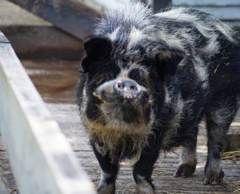 Support An Animal - Island Community Haven CIC - Rodderick the pig