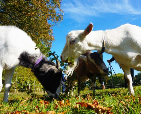 Community Meetups with goats - Andrew, Betty & Skip Goats