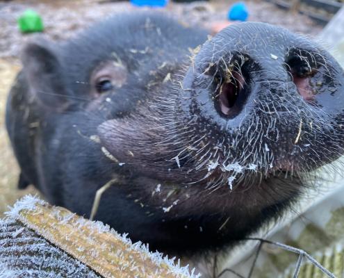 The Island Community Haven - Mr. Pig